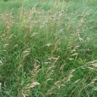 Pļavas auzene KAITA DS