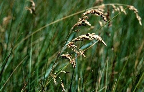 Pļavas skarene Balin C