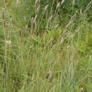 Lapsaste, pļavas